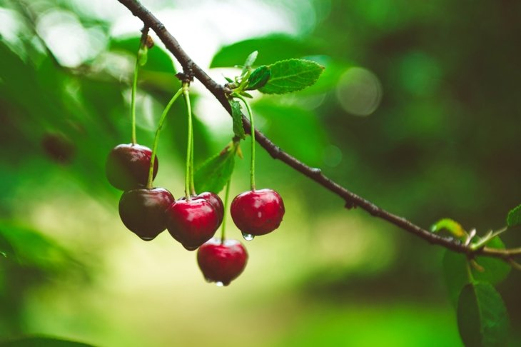 Ripe cherries hanging from a cherry tree branch. Water droplets on fruits, cherry orchard after the rain