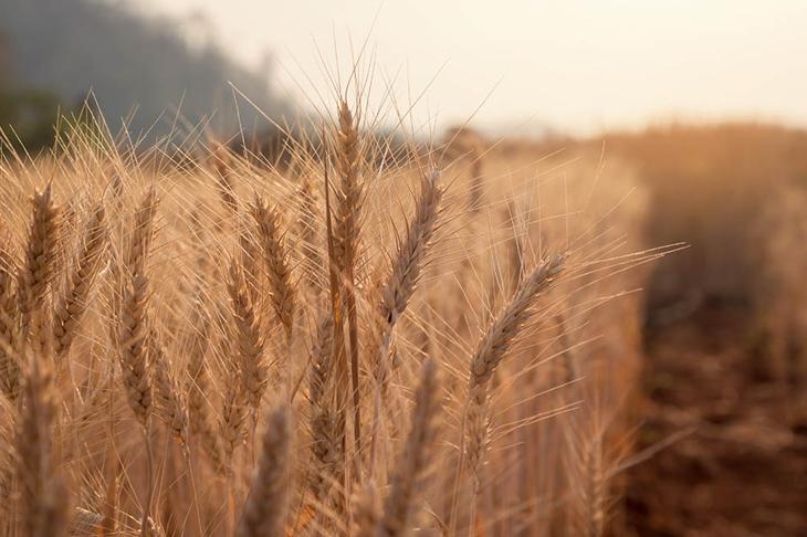 Evening light fields of barley