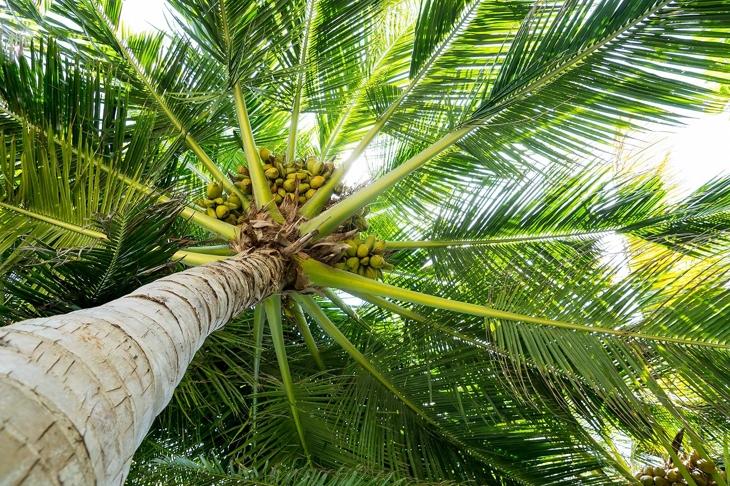 Palm full of coconuts on maldivian beach