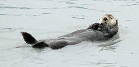 Wildlife Wednesday: Sea Otter