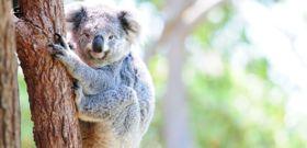 Wildlife Wednesday: Koala