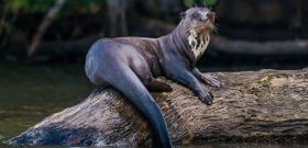 Wildlife Wednesday: Giant Otter