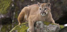 Wildlife Wednesday: Mountain Lion