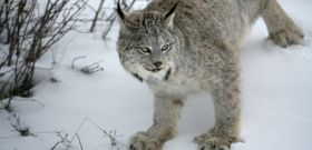 Wildlife Wednesday: Canada Lynx