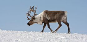 Wildlife Wednesday: Reindeer