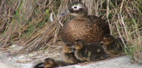 Wildlife Wednesday: Laysan Duck