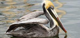 Wildlife Wednesday: Brown Pelican