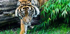 Wildlife Wednesday: Sumatran Tigers