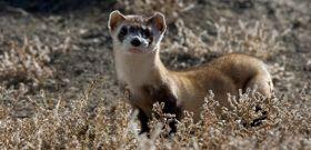 Wildlife Wednesday: Black-Footed Ferret