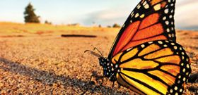 Where Have All the Monarchs Gone?
