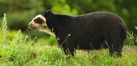 Wildlife Wednesday: Spectacled Bear