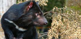 Wildlife Wednesday: Tasmanian Devil