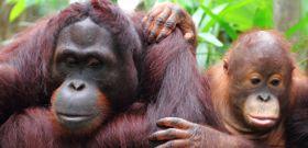 Wildlife Wednesday: Orangutans