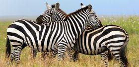 Wildlife Wednesday: Zebra