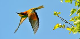 Wildlife Wednesday: European Bee-Eater