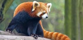Wildlife Wednesday: Red Panda