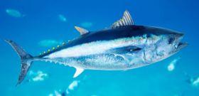 Wildlife Wednesday: Atlantic Bluefin Tuna