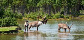 Threatened Alberta Caribou Continue To Decline Without Protection