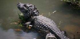 Wildlife Wednesday: Chinese Alligator