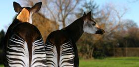 Wildlife Wednesday: Okapi