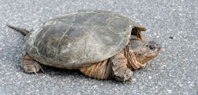 Wildlife Wednesday: Snapping Turtle