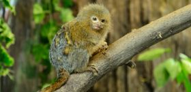 Wildlife Wednesday: Pygmy Marmoset