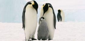 Wildlife Wednesday: Emperor Penguin