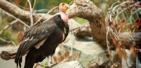 Wildlife Wednesday: California Condor