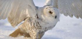 Wildlife Wednesday: Snowy Owl