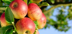The Canadian Apple Season is Here!