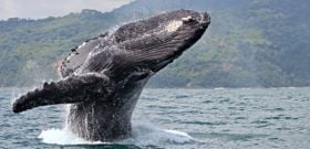 Wildlife Wednesday: Humpback Whale