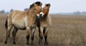 Wildlife Wednesday: Przewalski's Horse