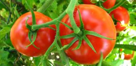 Organic Tomatoes Contain More Antioxidants, Says New Study