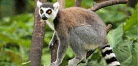 Wildlife Wednesday: Ring-Tailed Lemur