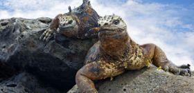 Wildlife Wednesday: Marine Iguana