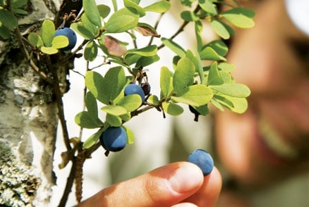 Beneficial  Bilberry