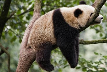 Wildlife Wednesday: Giant Panda