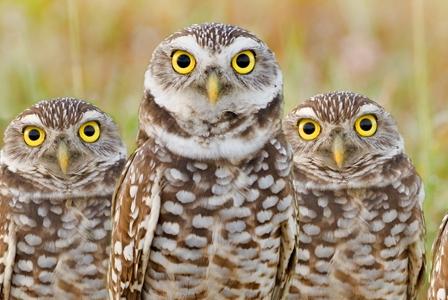 Wildlife Wednesday: Burrowing Owl