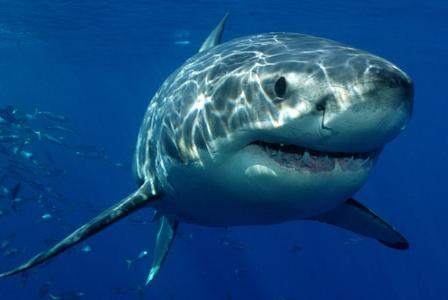 Wildlife Wednesday: Great White Shark