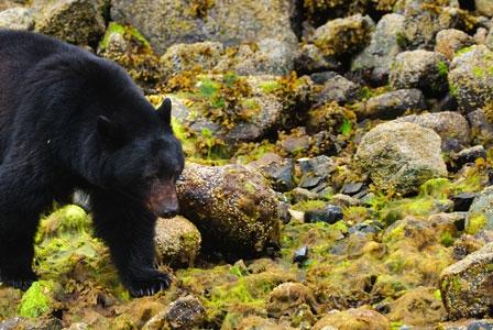 Wildlife Wednesday: Black Bear