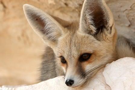 Wildlife Wednesday: Fennec Fox