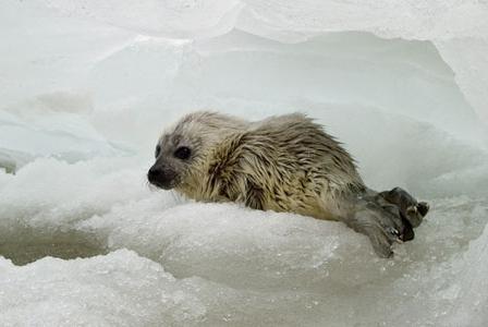 Wildlife Wednesday: Ringed Seal