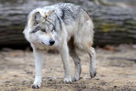 Wildlife Wednesday: Grey Wolf