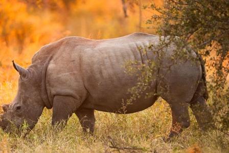 Wildlife Wednesday: Black Rhino