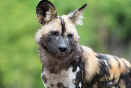 Wildlife Wednesday: African Wild Dog