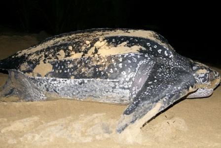 Wildlife Wednesday: Leatherback Sea Turtles