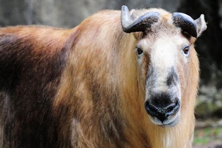 Wildlife Wednesday: Takin