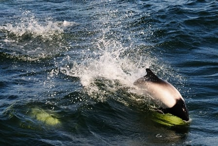 Wildlife Wednesday: Commerson's Dolphin