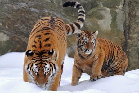 Wildlife Wednesday: Amur Tiger