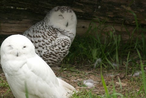 It's Snowing Owls!